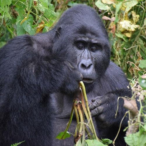 Primate Safari Express Uganda - Rwanda