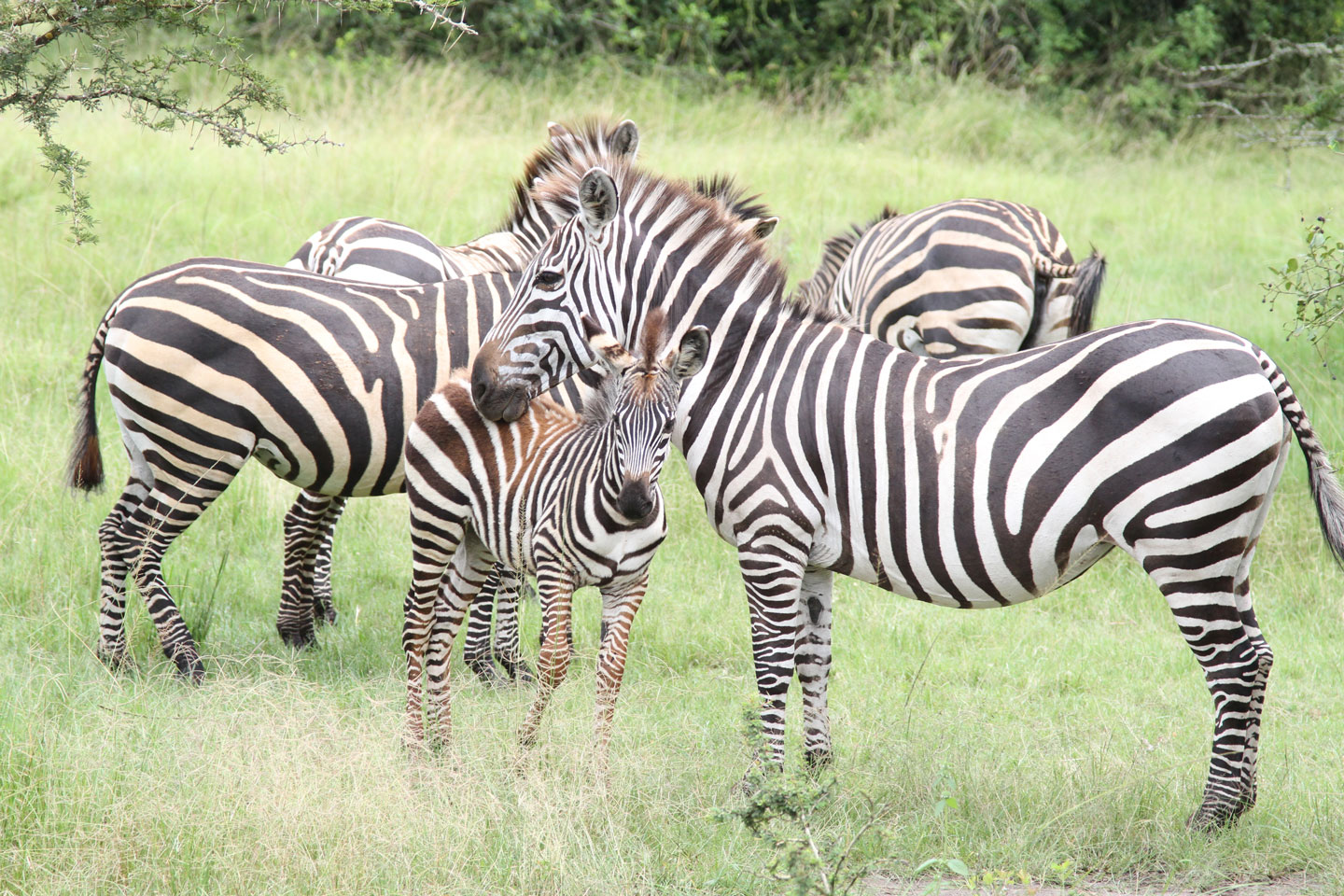 zebras in kidepo