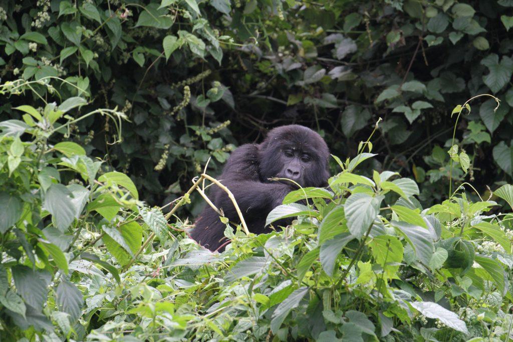 Uganda-Gorilla-fly-in