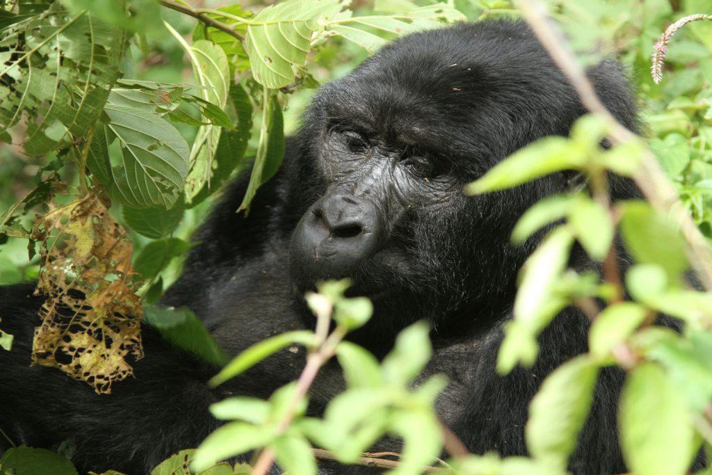 One of the 10 things to do in Uganda is gorilla-trekking-bwindi-gorilla-2