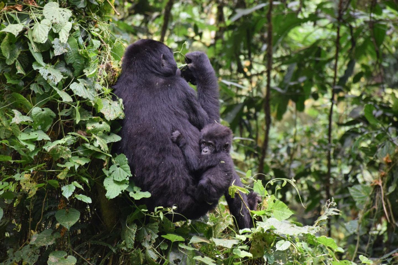 Uganda Gorillas and Golfing Safari