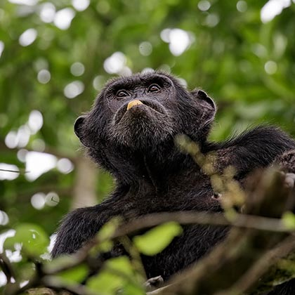 best places to see chimpanzees in Uganda