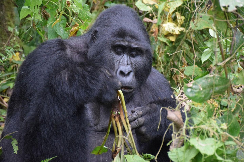 Gorilla trekking safari uganda
