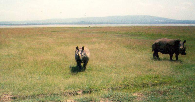 Rhino trekking on foot, Ziwa Rhino sanctuary