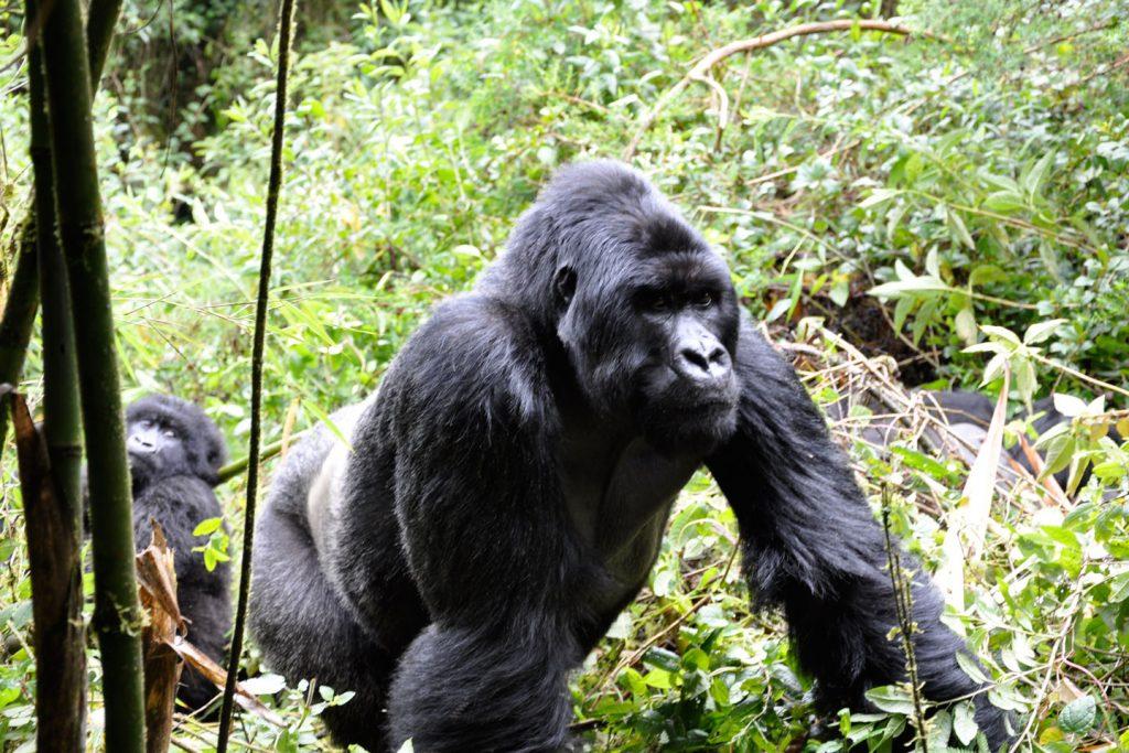 Gorilla-Gorilla-01