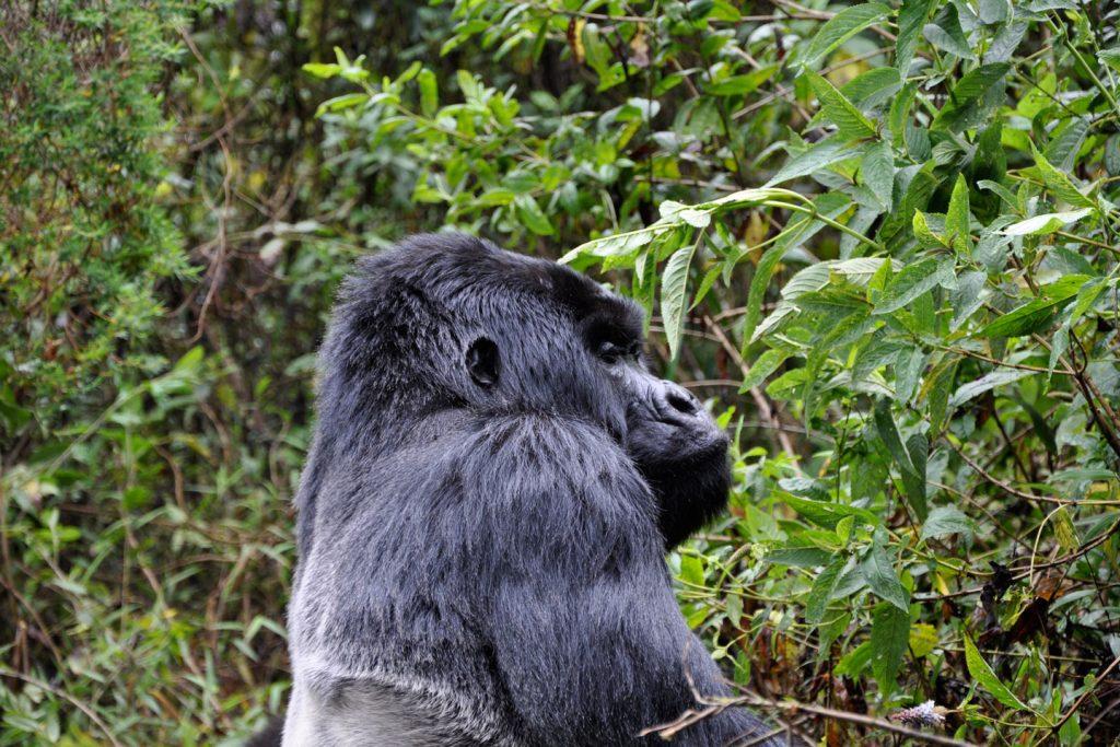 Gorilla-Rwanda-01