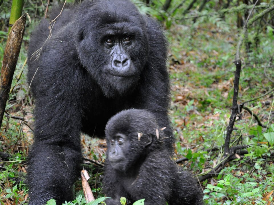 What to expect on Gorilla trekking day