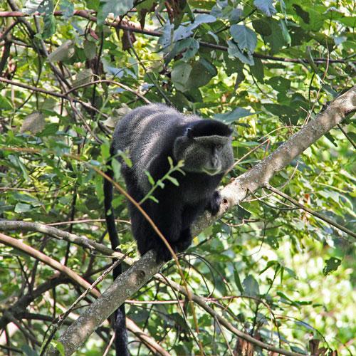 primates safari uganda