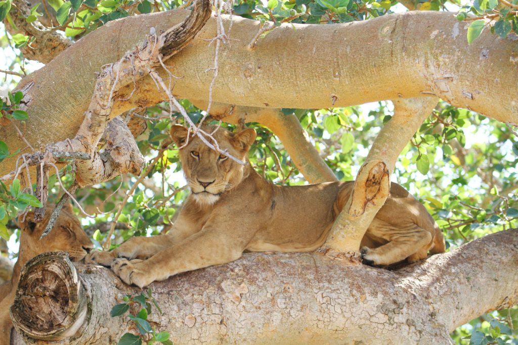 Uganda National Parks - tree climbing lion