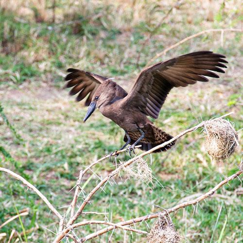 Uganda Birding Albertine Endemics & Gorilla Safari