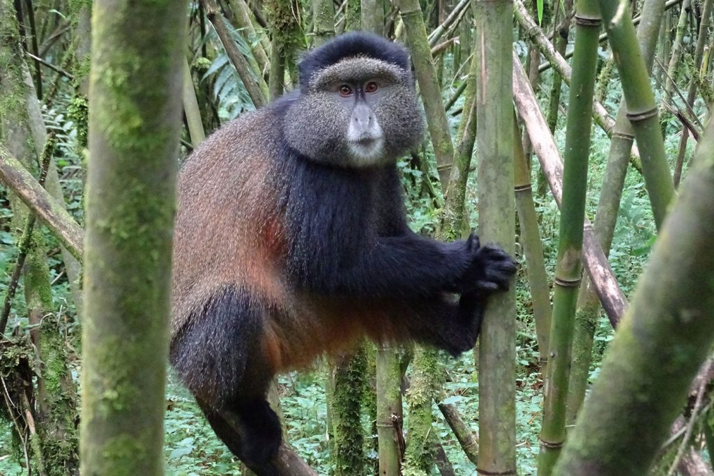 golden-monkey-trekking-03