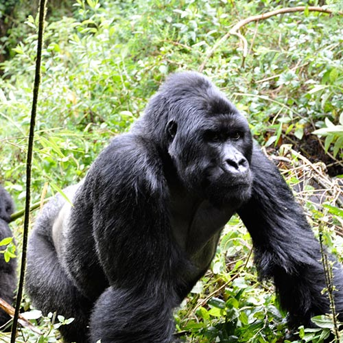 Gorilla trekking in Bwindi Forest National Park Uganda