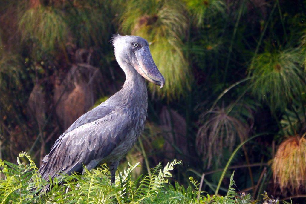 lake mburo-Birding