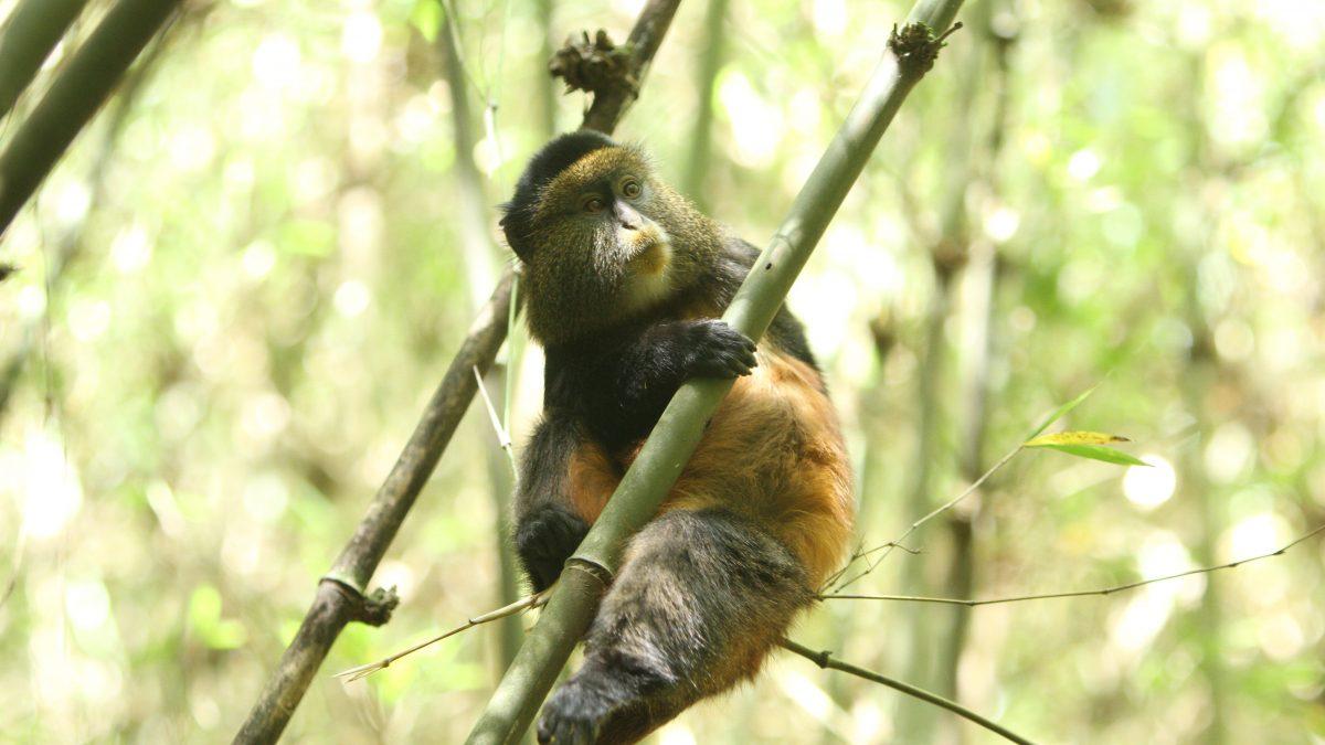 golden monkey in Mgahinga National Park