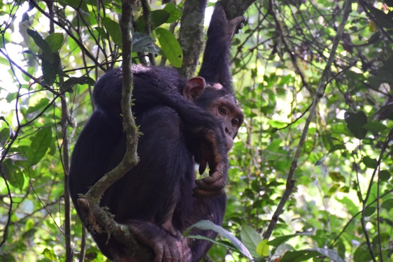 Chimpanzee tracking in Kibale National Park