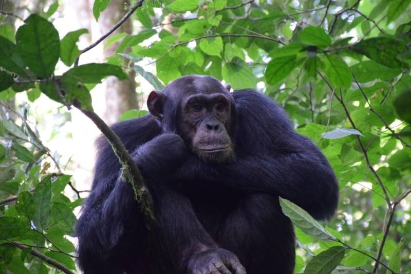 Kibale National Park for chimpanzee tracking and habituation