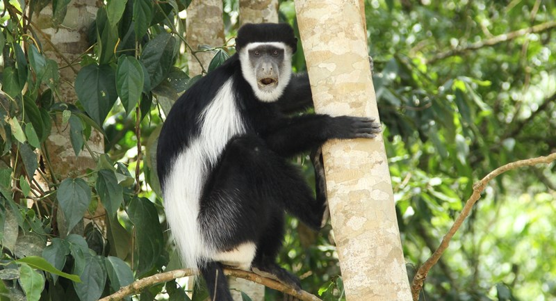 Kibale National Park is also known as the primate capital of the world. Other 12 primates seen in Kibale Forest