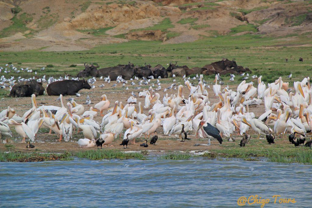Uganda's kazinga channel, a paradise for waterbirds
