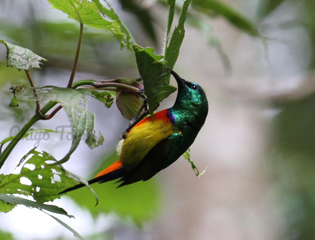 Regal sunbird, usually seen on a bird watching tour in Ruhija, Bwindi Impenetrable Forest National Park