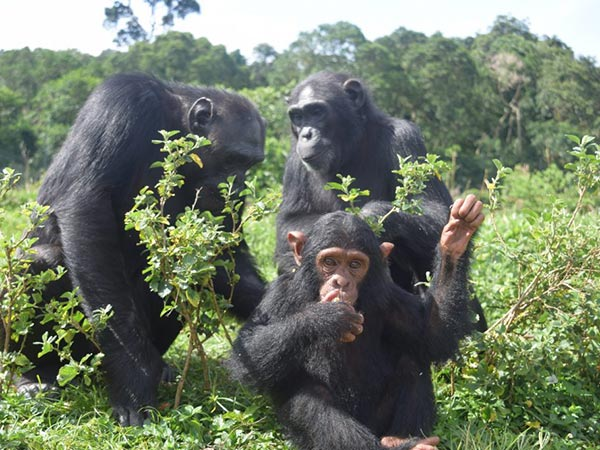 Ngamba Island Sanctuary for Chimpanzees