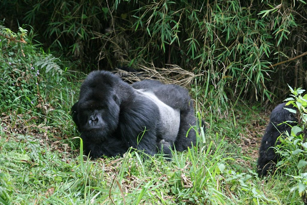 Gorillas,-Umubano-Group,-Volcanoes-National-Park,-Rwanda
