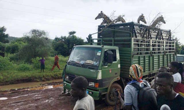 Giraffe return to Pian Upe Wildlife Reserve