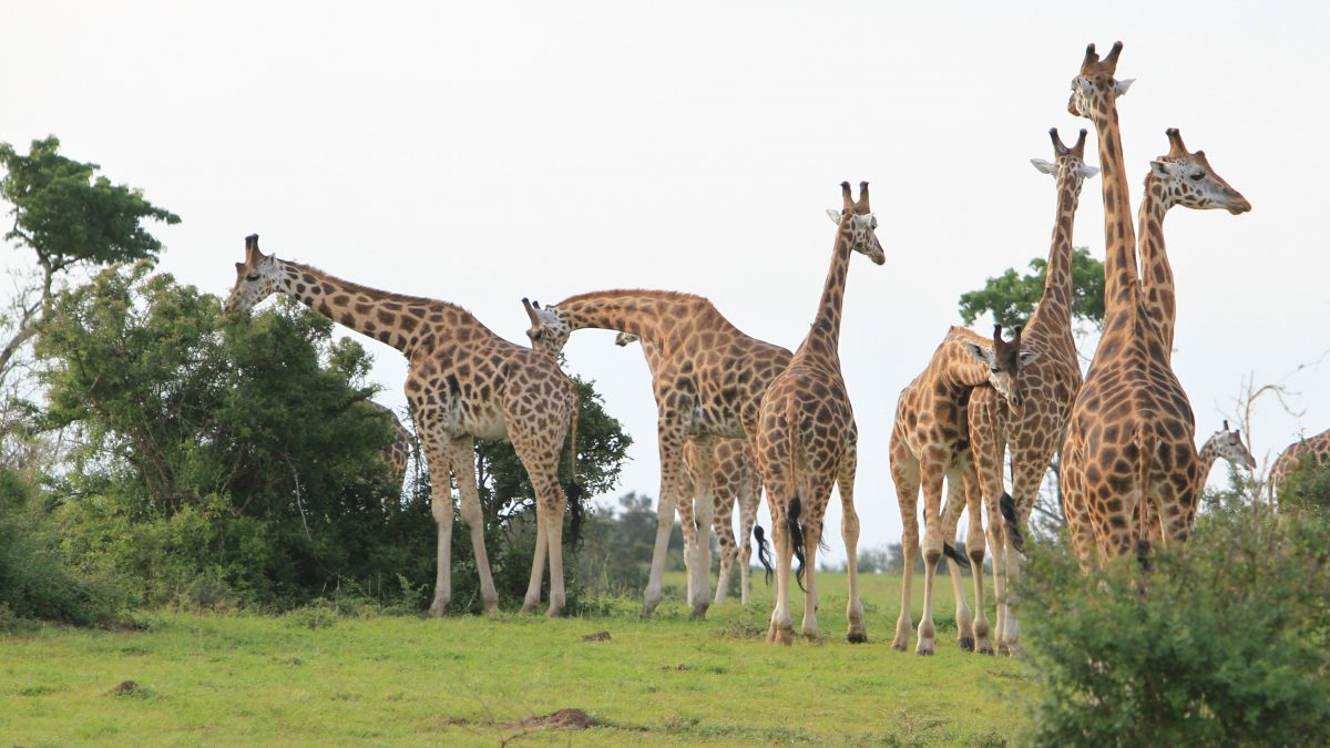 Giraffes return to Pian Upe