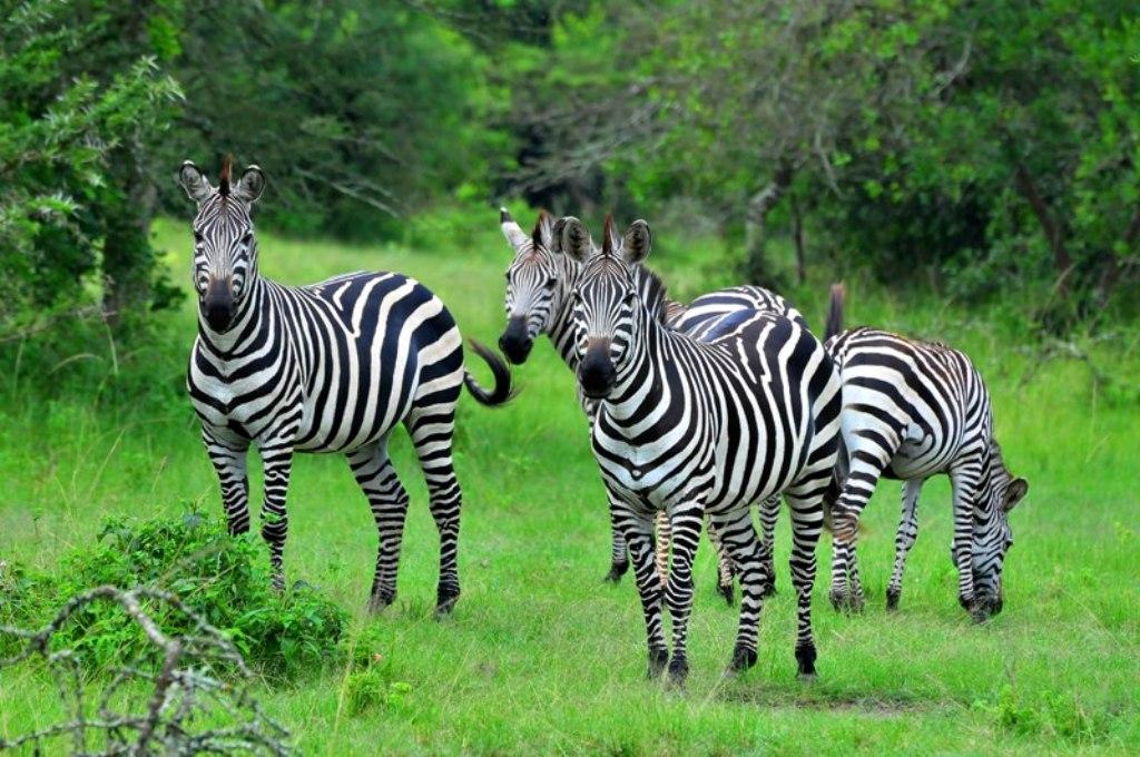 Zebra in Lake Mburo National Park