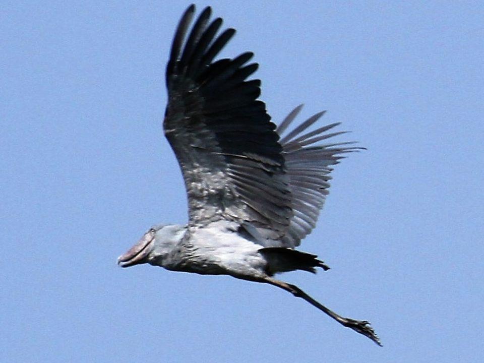 Shoebill in flight