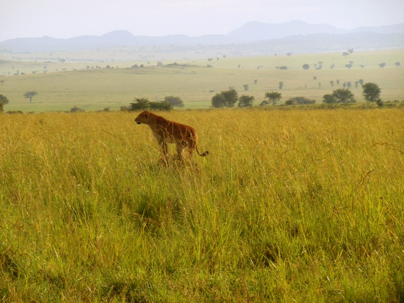 Kidepo Valley National Park - lions