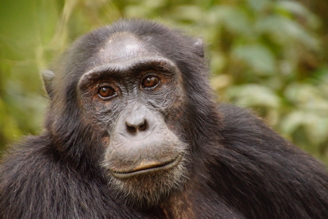 Fort Portal, the Adventure capital of Uganda. chimpanzee tracking